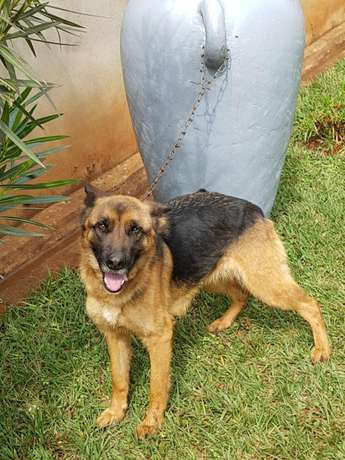 Pure GSD on sale Lower Kabete - image 1
