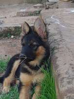Pure German Shepard puppy up for grabs