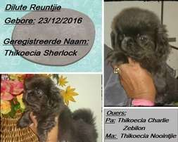 Dilute male Pekingese for sale in Warden Free state.