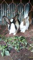 Rabbits for sale. By