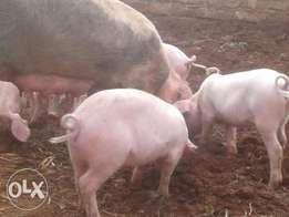 pig piglets fast growing best breed