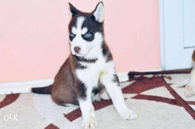 Husky puppies for sale