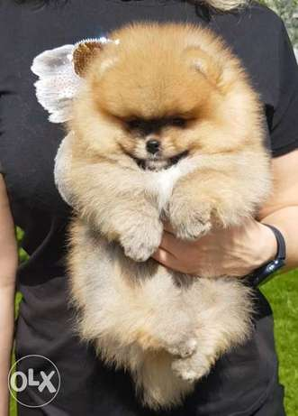 Pomeranian high quality