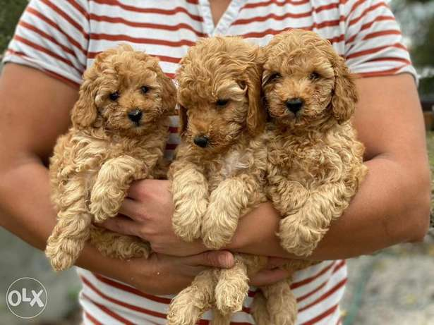 Reserve Your Imported Toy Poodle Puppy From Egypt Dogs Store Now