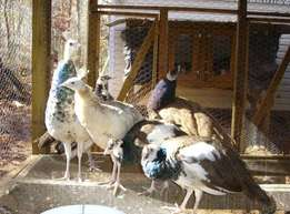 Peacocks and Peahen Pairs Available for Sale.
