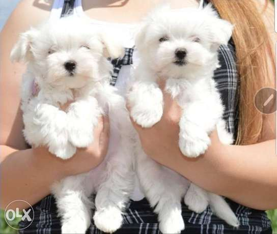 Maltese Puppies High Quality