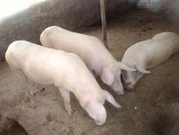 Mature PIGS for SALE !!