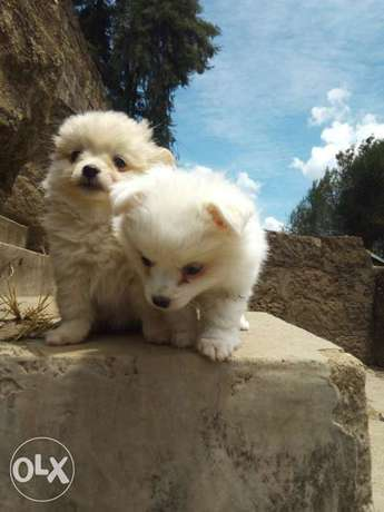 Adorable puppies. Karen - image 3