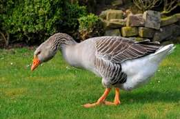 Healthy Geese And Chicks Available For Sale.