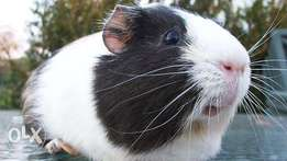 healthy Guinea pigs !!!