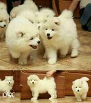 Imported TOP QUALITY samoyed puppies, with Pedigree