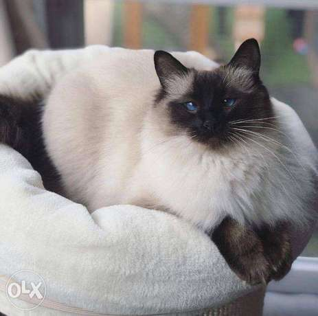Beautiful Rag doll for sale and adoption