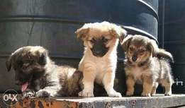 Mixed breed pups Maltese, Japanese and Terrier