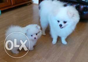 Playful Pomeranian Puppies Ready now