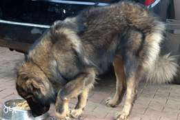 Male Caucasian Shepherd for Stud, Mating Services in Lagos.