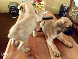 Boerboels for sale at a discounted price.
