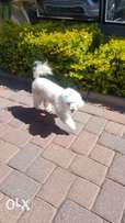 Male French Poodle for Sale