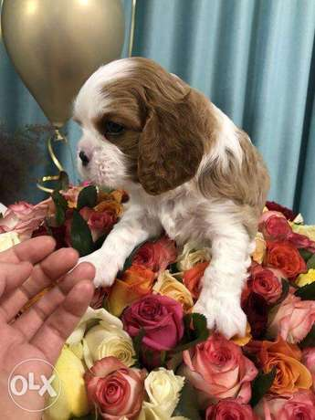 """The most Gorgeous Cavalier King Charles """"Imported with all documents"""""""