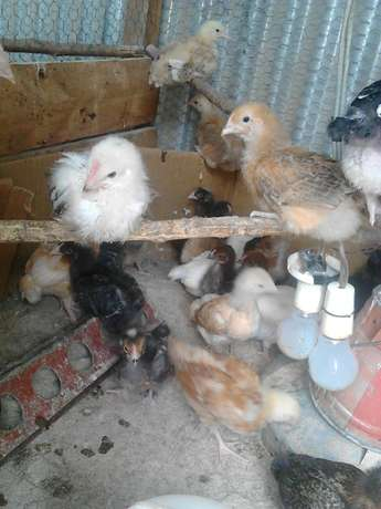 Kuroiler Chicks for Sale Ongata Rongai - image 6