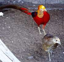 Golden pheasants for sale/ Goue fisante te kope