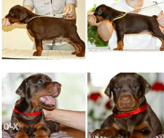 Doberman Pupps.. Imported.. Premium quality.. With all documents