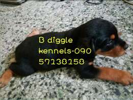 Box head Rottweiler puppies up for grabs