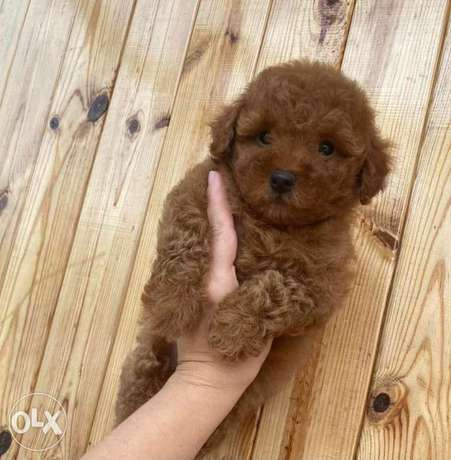 Arrived. Imported Toy Poodle Puppies Male & Female 2 months Full Doc.