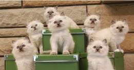 Pure Breed stunning Ragdoll Kittens for sale now.
