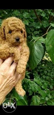 Amazing imported Toy poodle puppies from Ukraine