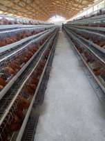 Chicken Cage For 480 Birds