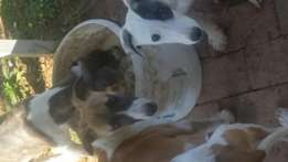 Grehounds for sale