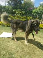 Male Caucasian Shepherd Dog for sale