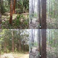 Eucalyptus forest on sale in mityana