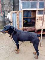 Male adult rottweiler for your security