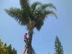 Palm trees prunning and garden clean up