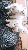 Purebreed Japanese spitz for sale