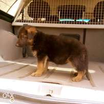 German puppies for sale at Ibadan