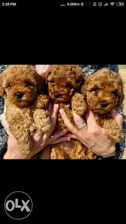 Imported toy poodle puppies