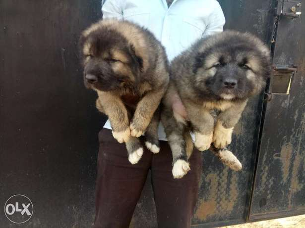 Pedigree Caucasian puppies available for sale Jos North - image 3