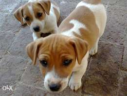 Jack Russells parents registered with 8 w short leg pups from R1950