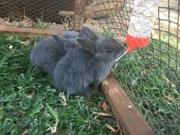 Selling my Baby Bunny