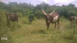 50 acres in kikyusa buzzibwera at 3m each.