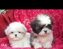 Best of the best imported mini shih tzu puppies with all documents