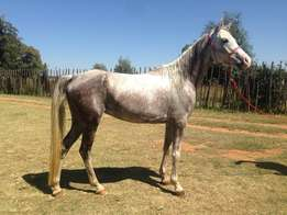 Young Arabian Mare for Child Rider