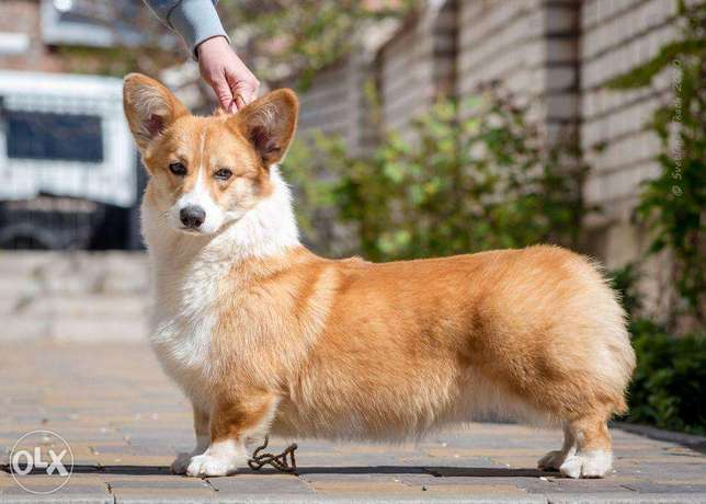"""Imported Welsh Corgi Puppies """"Top Quality with all documents"""""""