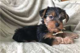 Adorable Yorkie Yorkie