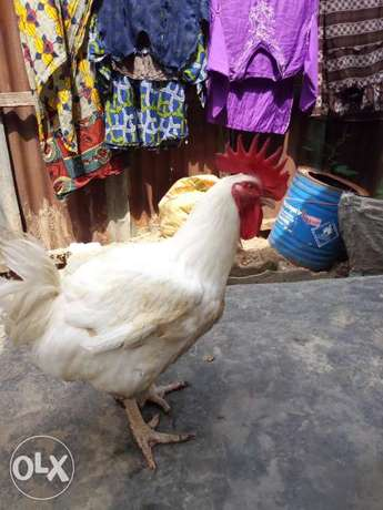 Chicken 6mth old for chikini money Ojo - image 6
