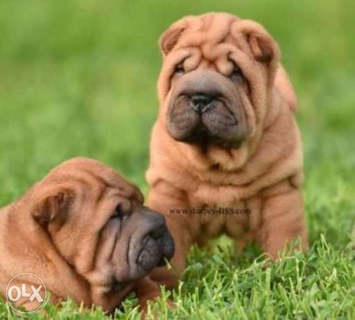Shar Pei puppies with Pedigree and microchip