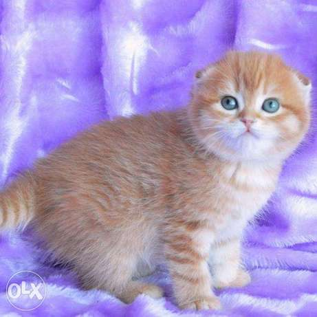 Scottish Fold kittens from the best kennels