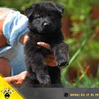 German Shepherd An ideal puppy with excellent bones and stable psyche